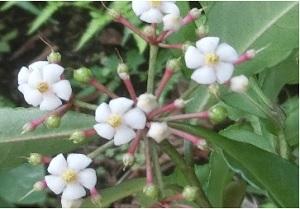 江の島の植物・常緑小低木 ≪マンリョウ(万両)≫