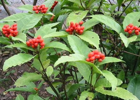 江の島の植物・センリョウ(千両)